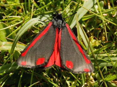 The Cinnabar (Tyria jacobaeae) inflating wings