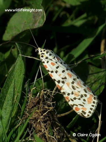 2054 Crimson Speckled  (Utetheisa pulchella) daytime sighting Helford Estuary