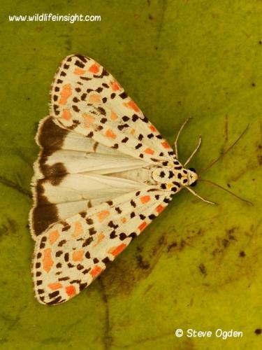 2054 Crimson Speckled  (Utetheisa pulchella) revealing hindwings