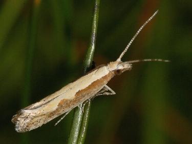 0464 Diamond-back Moth (Plutella xylostella)