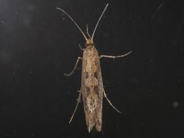 0464 Diamond-back Moth (Plutella xylostella) dark form