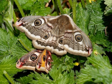 1643 Emperor Moths (Saturnia pavonia) - mating during the day