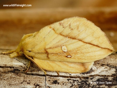 1640 The female Drinker moth (Euthrix potatoria)