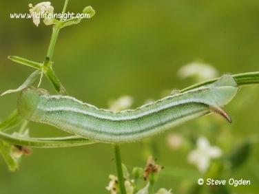 1984 Hummingbird Hawk-moth (Macroglossum stellatarum) 14 day old 20mm caterpillar