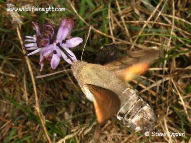 1984 Hummingbird Hawk-moth (Macroglossum stellatarum) nectaring at Autumn Squill at Predannack, The Lizard, Cornwall