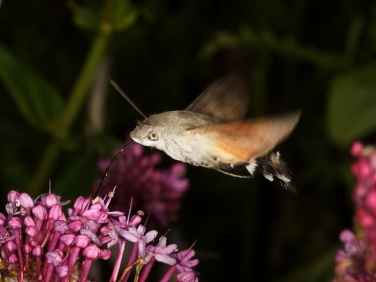 1984 Hummingbird Hawk-moth (Macroglossum stellatarum) nectaring at Red Valerian