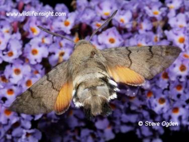 1984 Hummingbird Hawk-moth (Macroglossum stellatarum) hovering at buddleia in Cornish garden