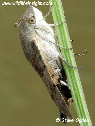 1984 Hummingbird Hawk-moth (Macroglossum stellatarum) recently emerged