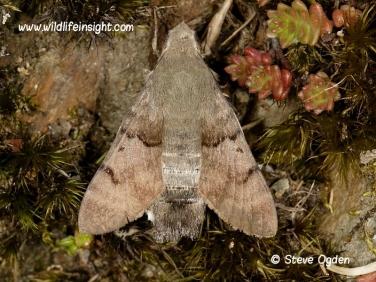 1984 Hummingbird Hawk-moth (Macroglossum stellatarum) resting