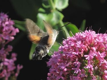 1984 Hummingbird Hawk-moth (Macroglossum stellatarum)