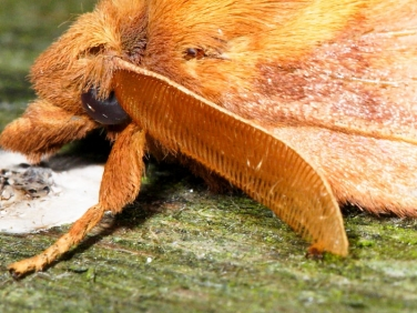 moth antennae illustrated by The Drinker (Euthrix potatoria) - male
