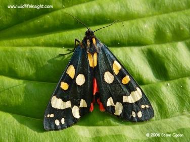 2068 Scarlet Tiger Moth Callimorpha dominula)
