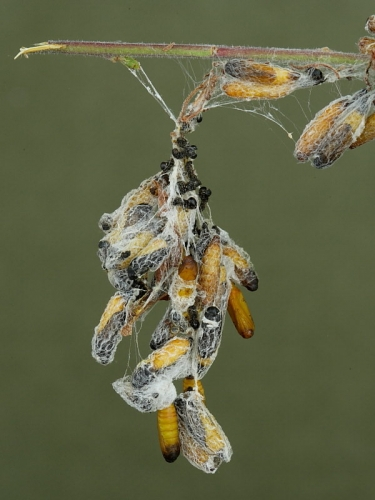 0425 Pupae in silk webs of Orchard Ermine (Yponomeuta padella) Blackthorn