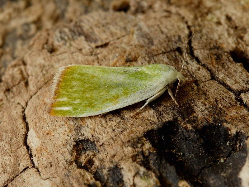 Cream-bordered Green Pea (Earias clorana) moth