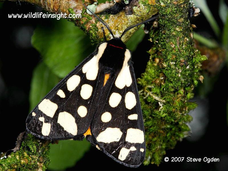 Cream-spot Tiger moth (Arctia villica) © 2007 Steve Ogden