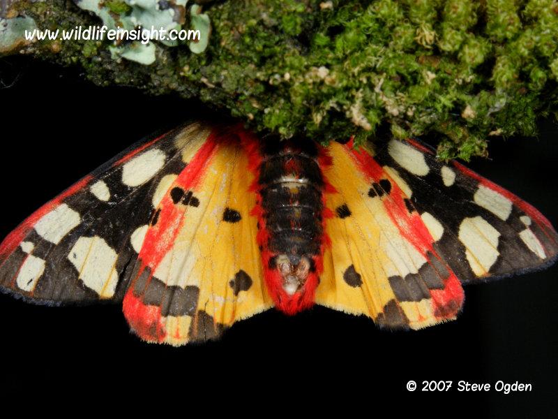 Cream-spot Tiger moth (Arctia villica) underside 2007 Steve Ogden