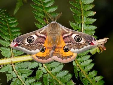 1643 Emperor Moth (Saturnia pavonia) - male