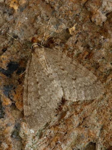 1799 Winter Moth (Operophtera brumata)