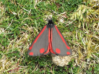 2069 The Cinnabar (Tyria jacobaeae)