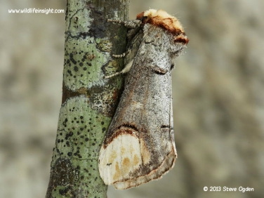 1994 Buff-tip (Phalera bucephala) moth on lichen covered branch