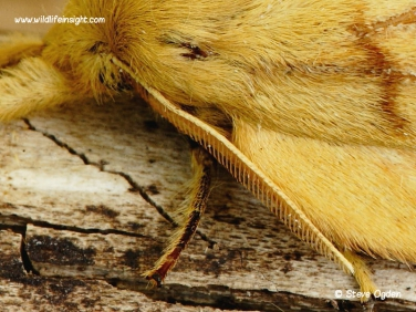 Female Drinker moth  antenna