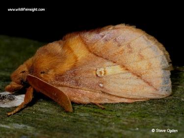 1640 The male Drinker moth (Euthrix potatoria)