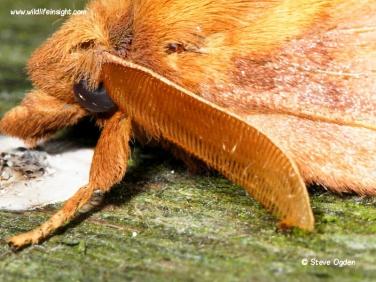 1640 Male drinker moth antenna