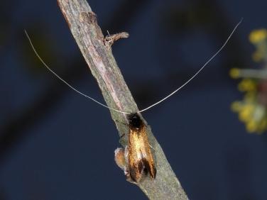 0149 Adela cuprella - male