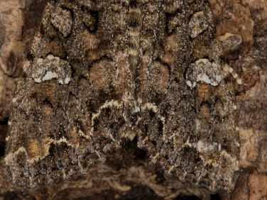 2154 Cabbage Moth (Mamestra brassicae) - guide to identifying wing markings.
