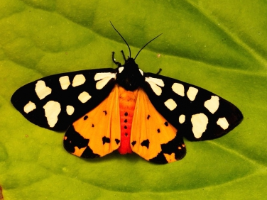 Cream-spot Tiger (Arctia villica) freshly emerged © 2013 Steve Ogden