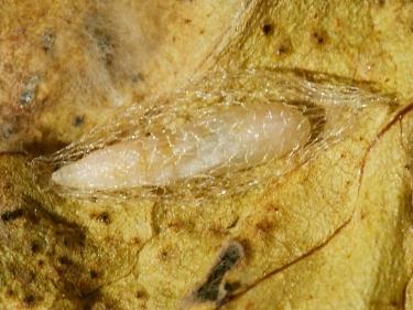 0464 Diamond-back Moth (Plutella xylostella) pupa and cocoon