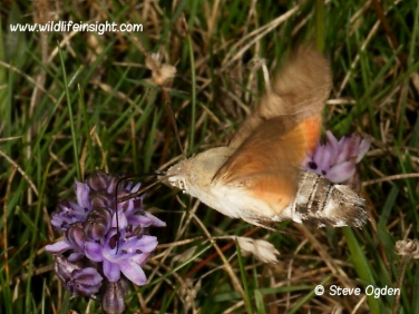 1984 Hummingbird Hawk-moth (Macroglossum stellatarum) feeding at Autumn squill