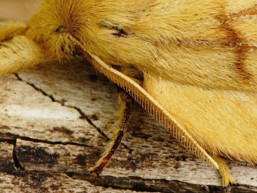 moth antennae illustrated by  The Drinker (Euthrix potatoria) - female