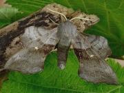 1981 Poplar Hawk-moth (Laothoe populi)