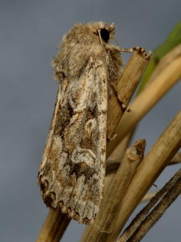 2354 Sandhill Rustic (Luperina nickerlii) subspecies leechi