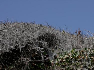 0425 Silk webs of Orchard Ermine (Yponomeuta padella) Blackthorn