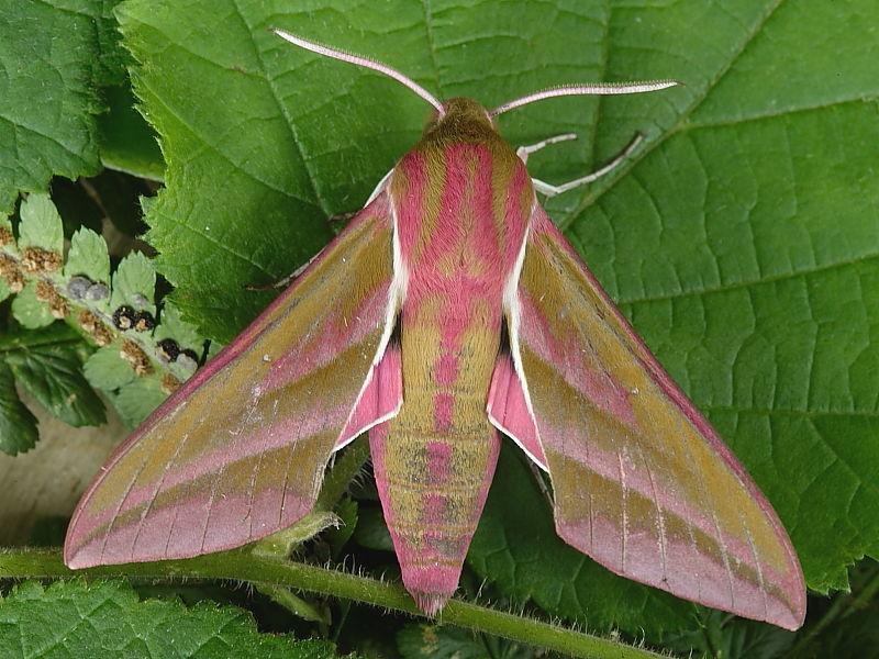 1991 Elephant Hawk-moth