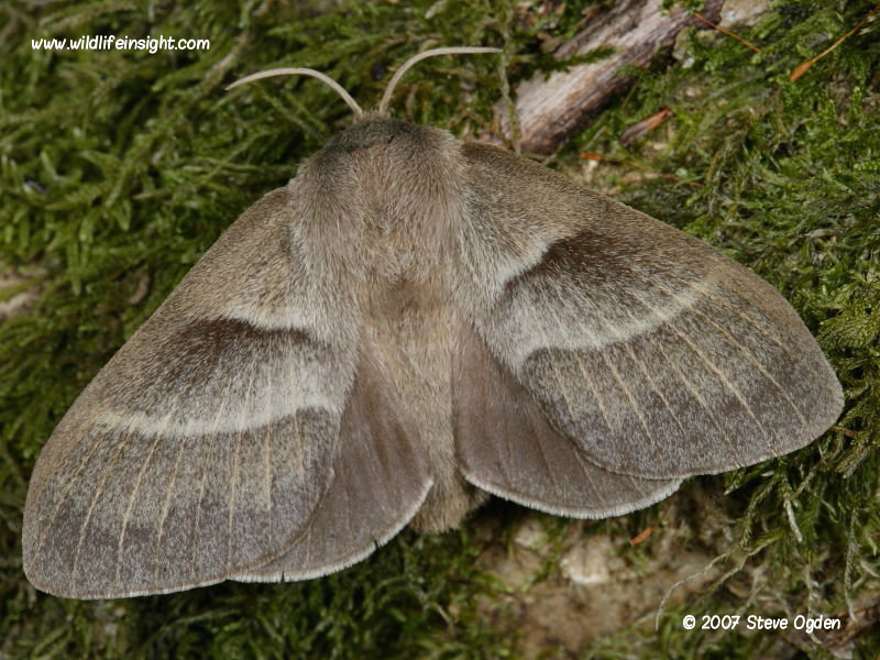Female Fox moth (Macrothylacia rubi) © 2007 Steve Ogden