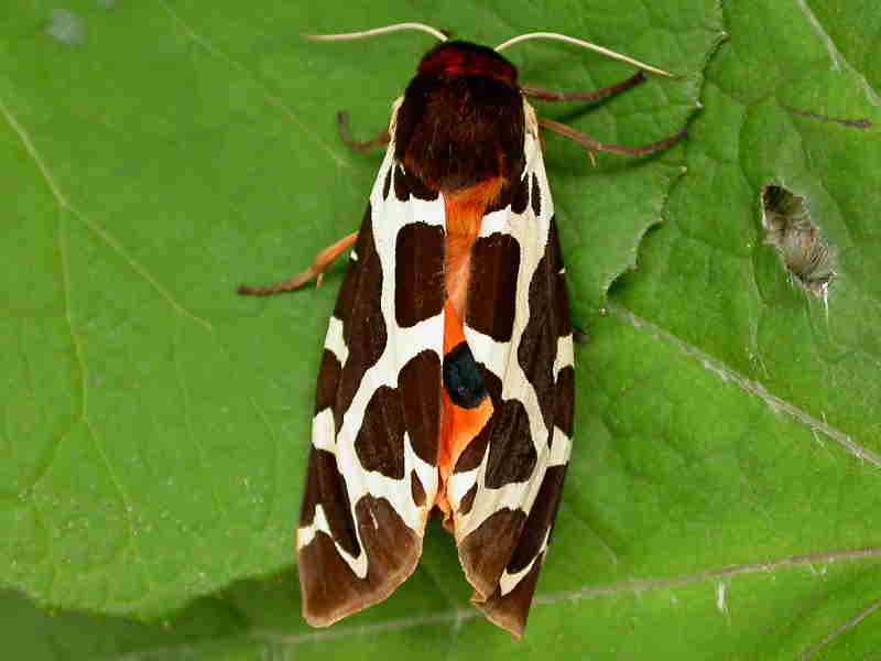 Garden Tiger (Arctia caja) - recently emerged moth inflating wings © Steve Ogden