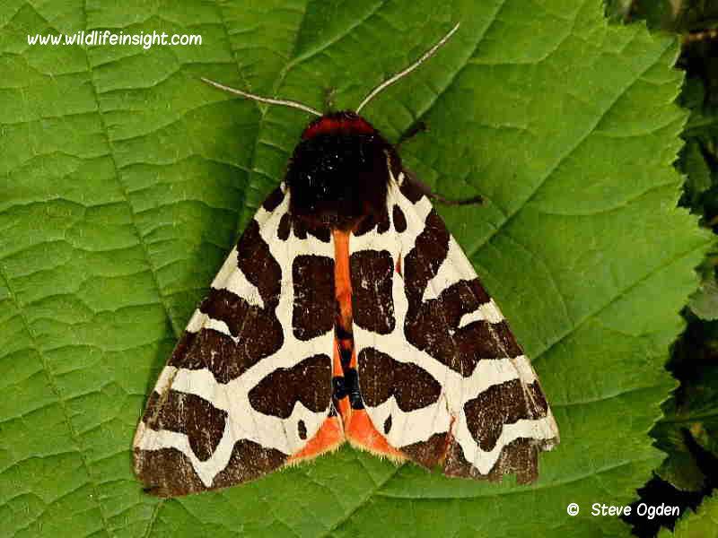 Garden Tiger (Arctia caja) moth © Steve Ogden