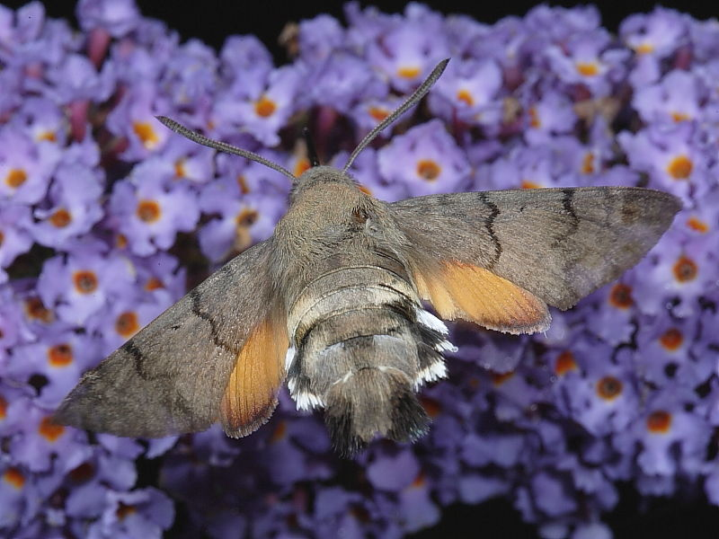 1984 Hummingbird Hawk-moth