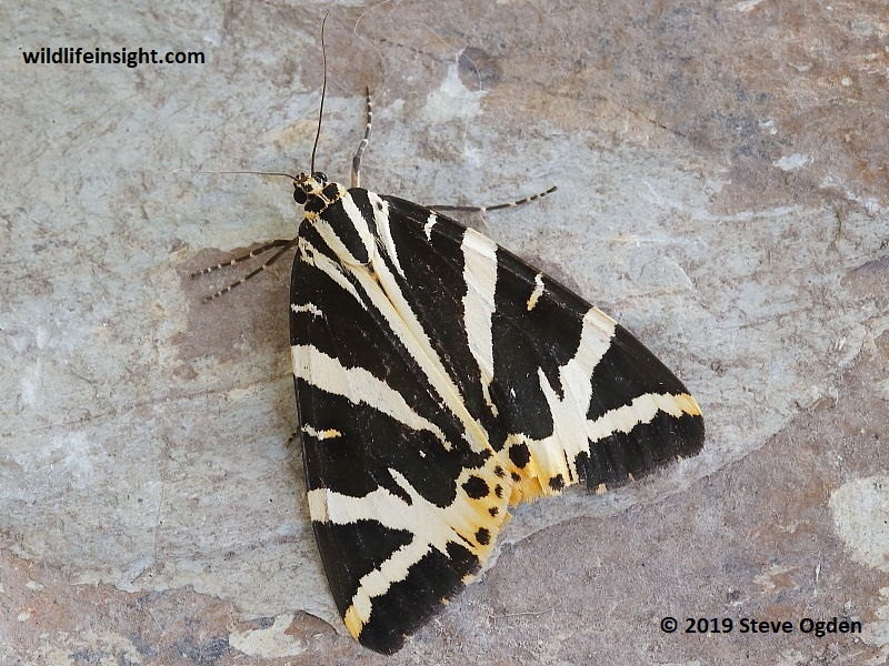 Migrant Jersey Tiger Moth yellow form lutescens, attracted to light in Cornwall, UK.