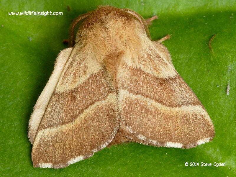 Male Lackey moth (Malacosoma neustria) © 2014 Steve Ogden