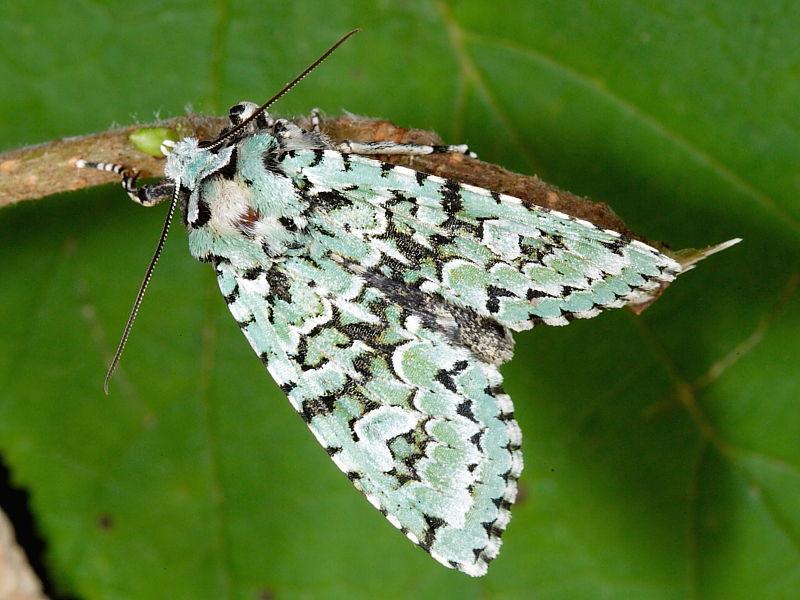 moth merveille du jour dichonia aprilina wildlife insight. Black Bedroom Furniture Sets. Home Design Ideas