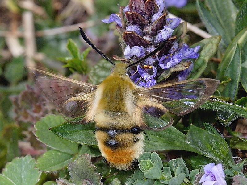 1982 Narrow-bordered Bee Hawk-moth