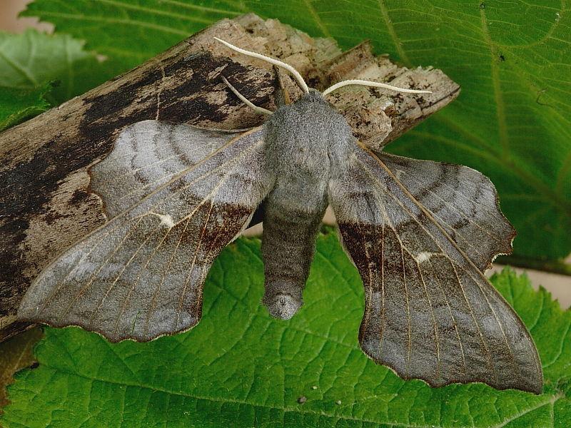 1981 Poplar Hawk-moth