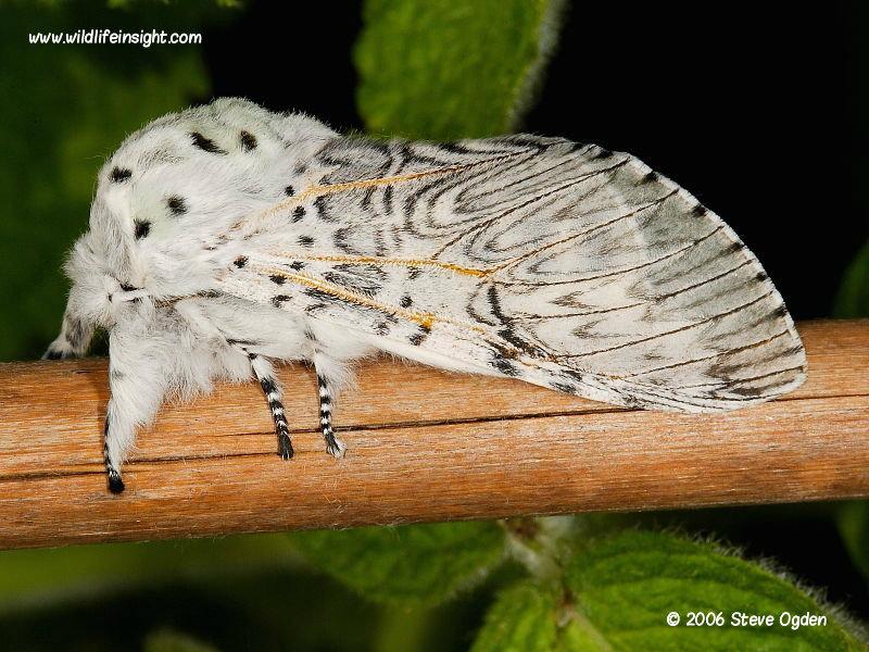 Puss Moth (Cerura vinula) © 2006 Steve Ogden