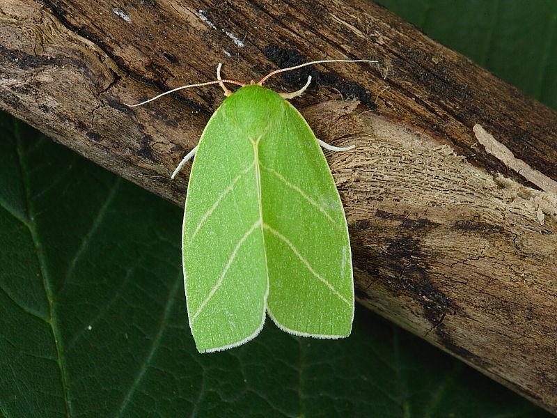 Scarce Silver-lines (Bena bicolorana)