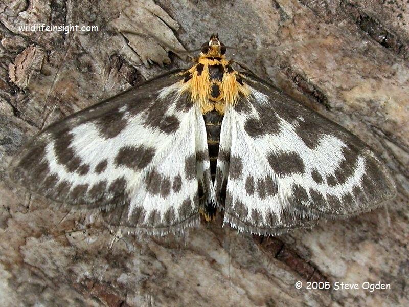 Small Magpie moth (Anania hortulata) © 2005 Steve Ogden