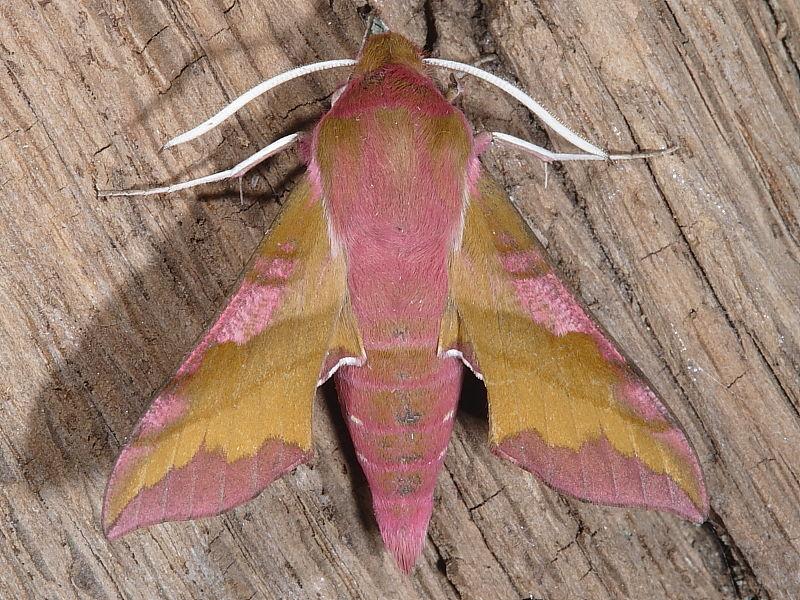 1992 Small Elephant Hawk-moth